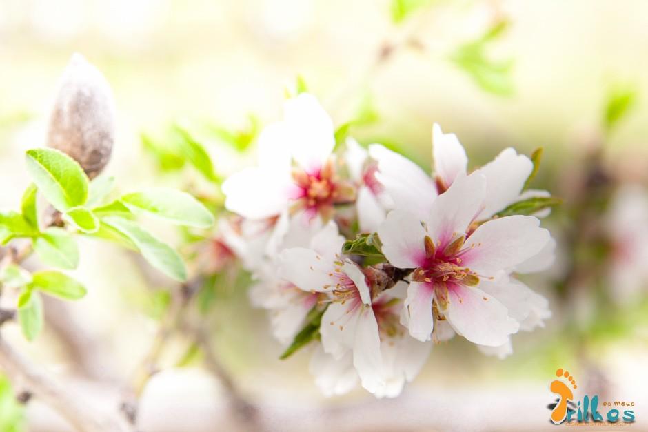 amendoeiras em flor  -1-5