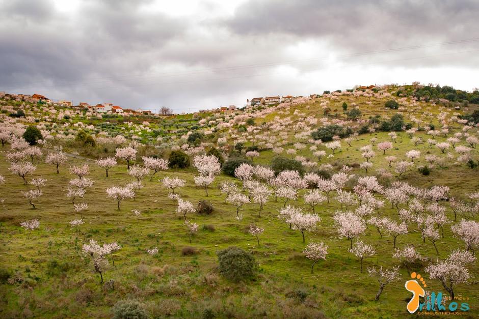amendoeiras em flor -1-6