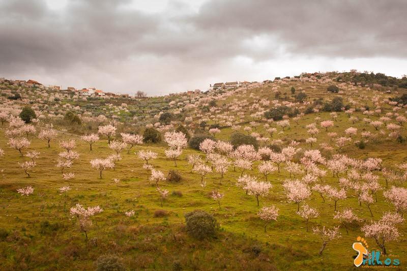 Rota das Amendoeiras em Flor-8